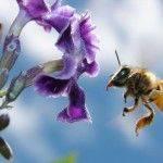 abeja volando junto a flor morada y cielo azul de fondo