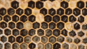 larvas de abejas
