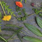 Plantas depurativas de primavera