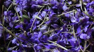 violetas silvestres